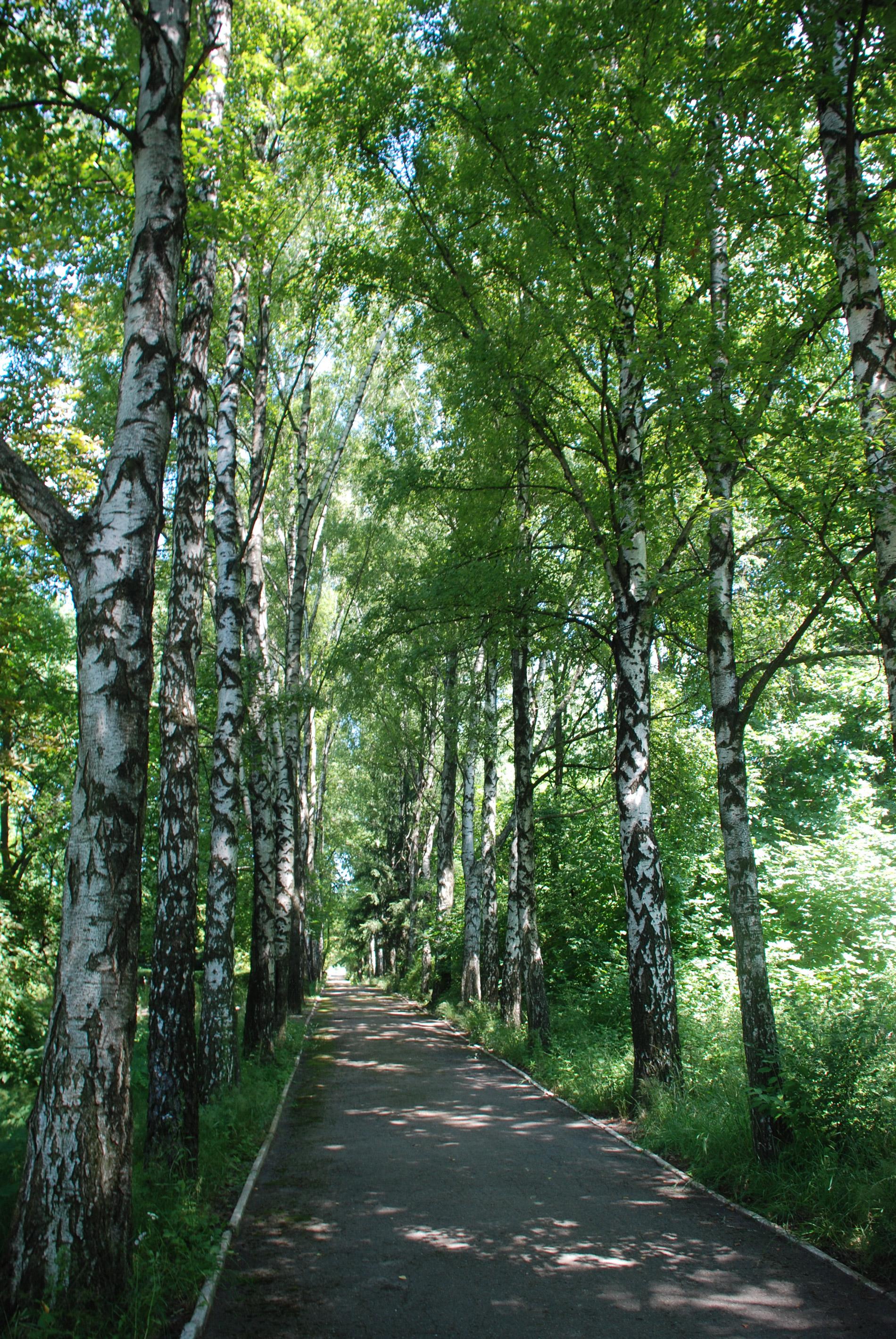Березова алея - Ботанічний сад Житомирського національного агроекологічного університету